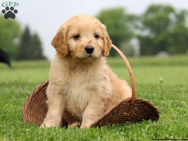 Mini Goldendoodles for Sale Taylor, Mini Goldendoodle