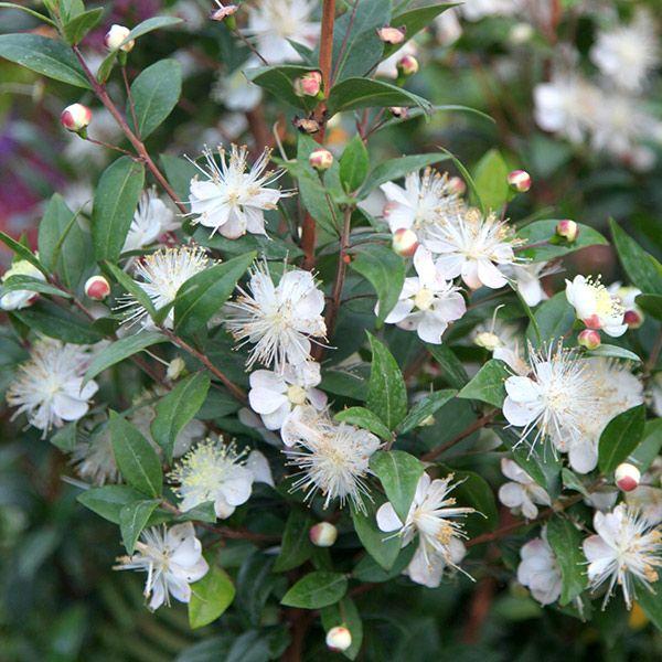 Myrtus communis common myrtle Evergreen shrub with white fluffy