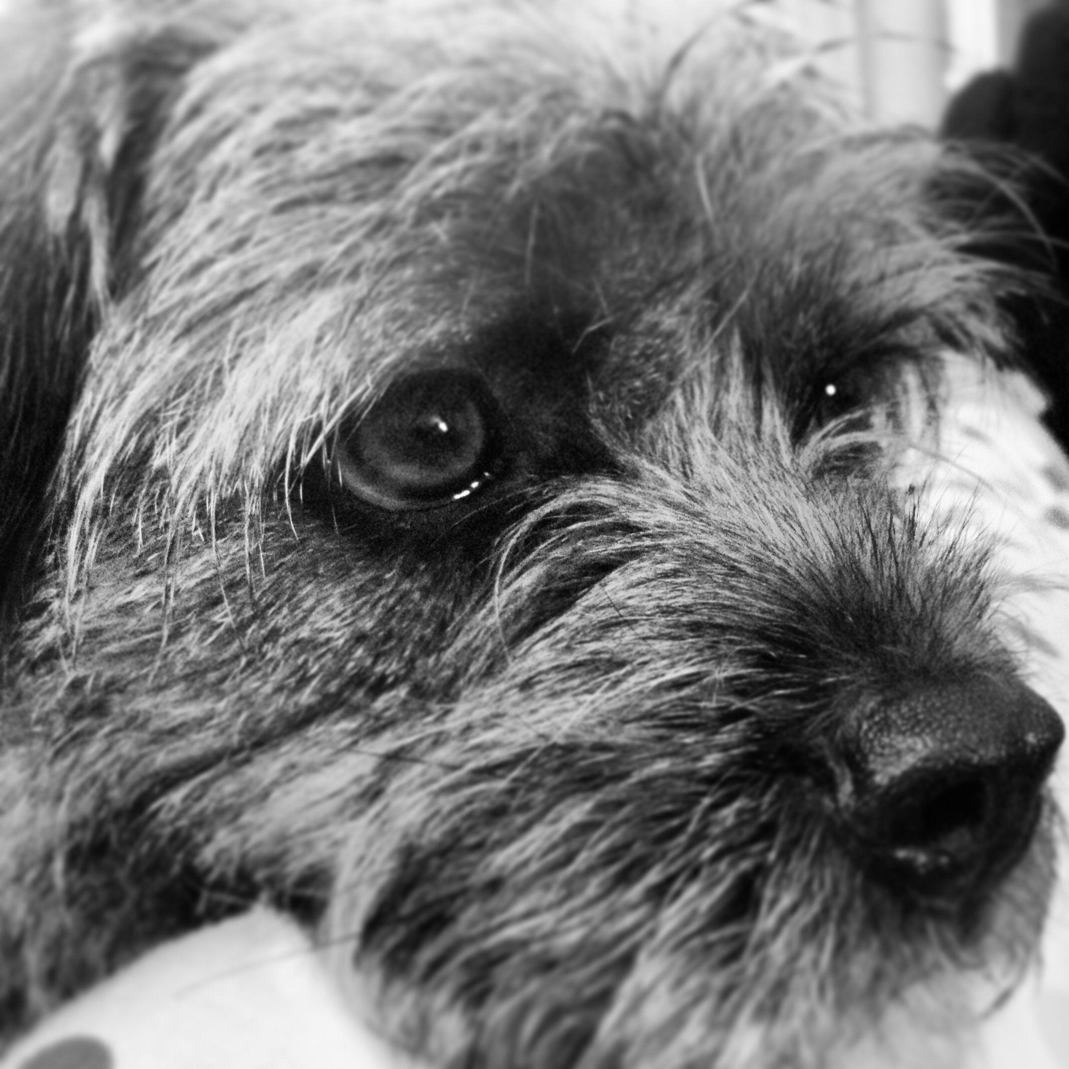 Those Eyes Border Terrier Terrier Brown Dog