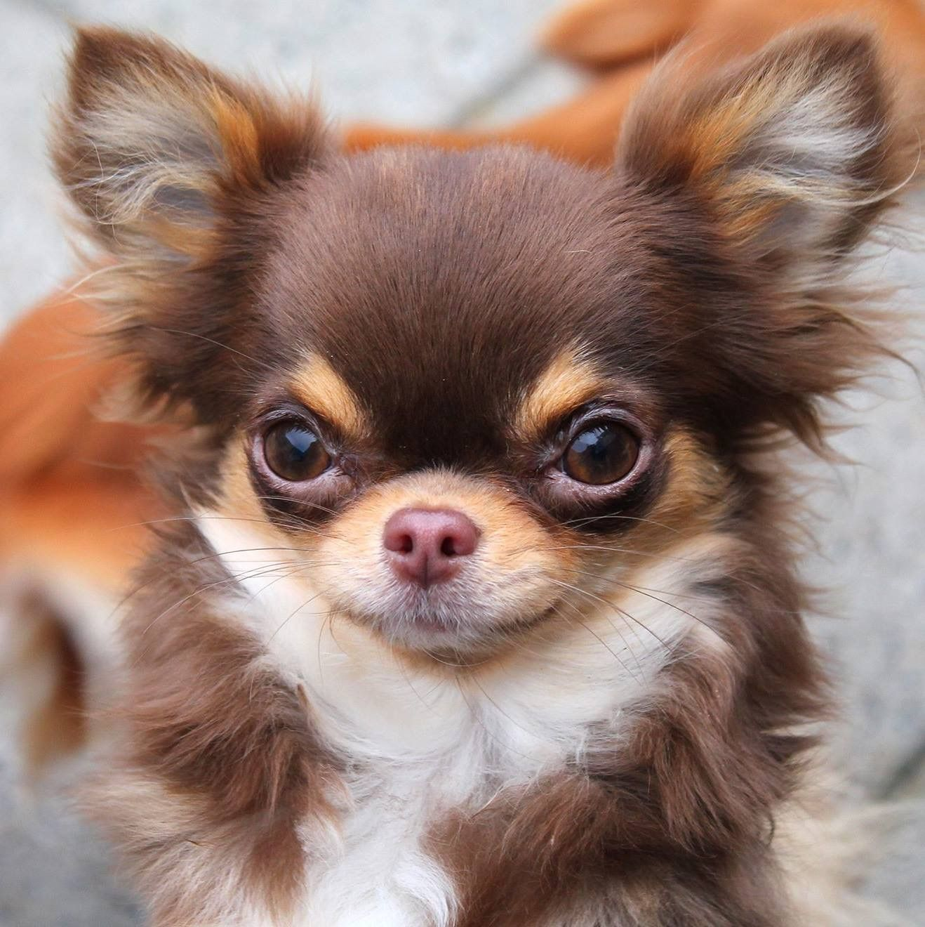 Chocolate Tri Longcoat Chihuahua Puppies Dog Breeds Chihuahua