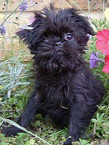 Affenpinscher Puppy Puppies Pinterest Puppies Dogs And