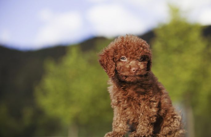 the best dog breeds for apartment living realtor com poodles