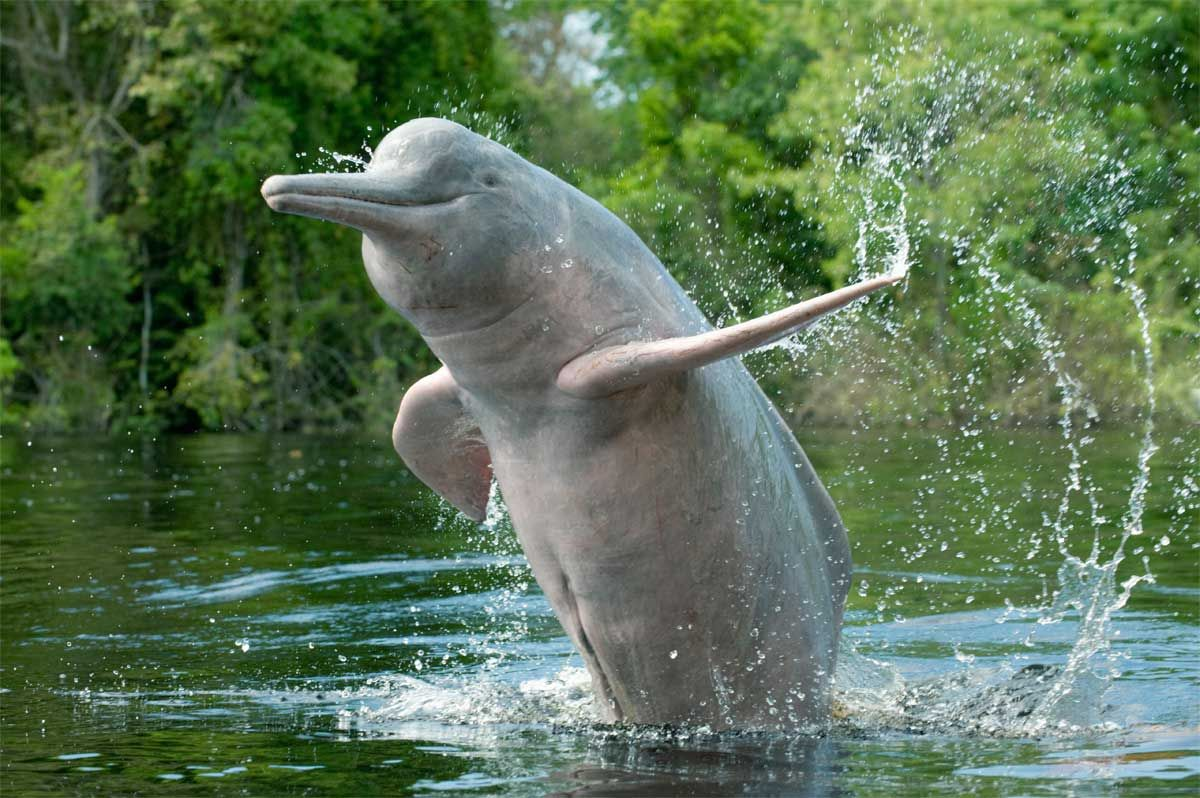 Damming the Amazon: new hydropower projects put river dolphins at risk