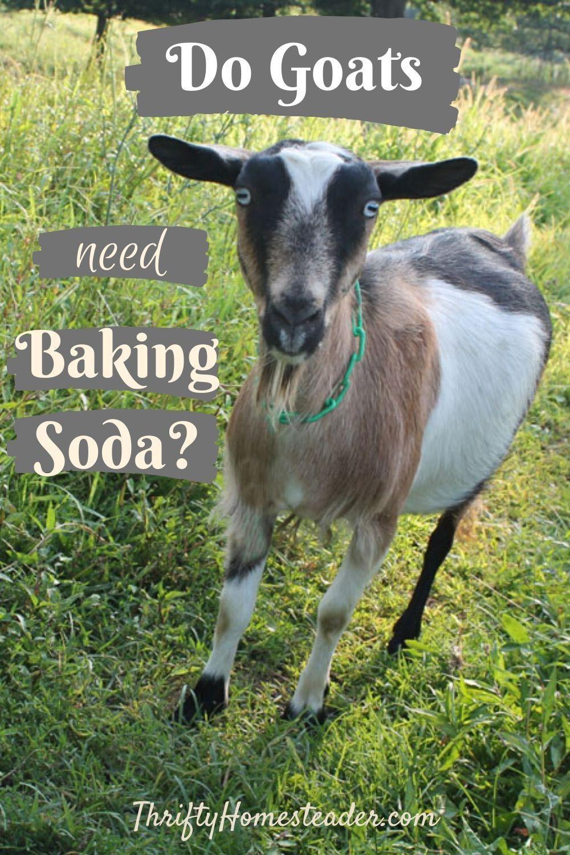 Do Goats Need Baking Soda The Thrifty Homesteader In 2020 Goats Raising Goats Breeding Goats