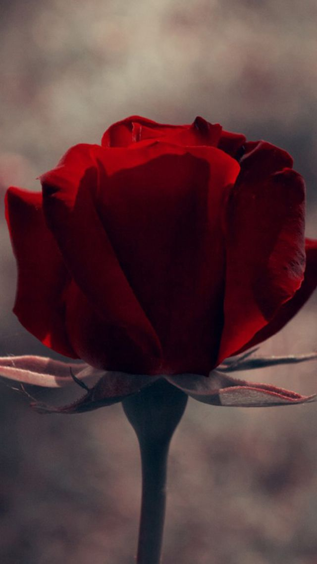 Vintage Red Rose Flower Macro Iphone 5s Wallpaper Backgrounds