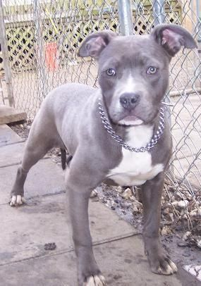 I Want This Pitbull With A Baby Blue Bandana And Name Him Bandit