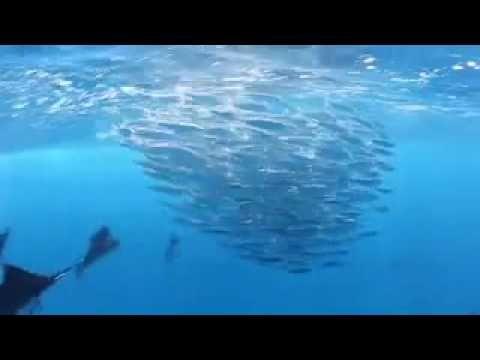 Pez Vela Isla Mujeres, México