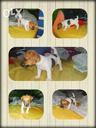 Jack Russell Terrier Male Pup For Sale Philippines Find New And