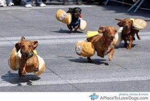 Hot Dog Race Funny Dachshund Weiner Dog Dachshund Races