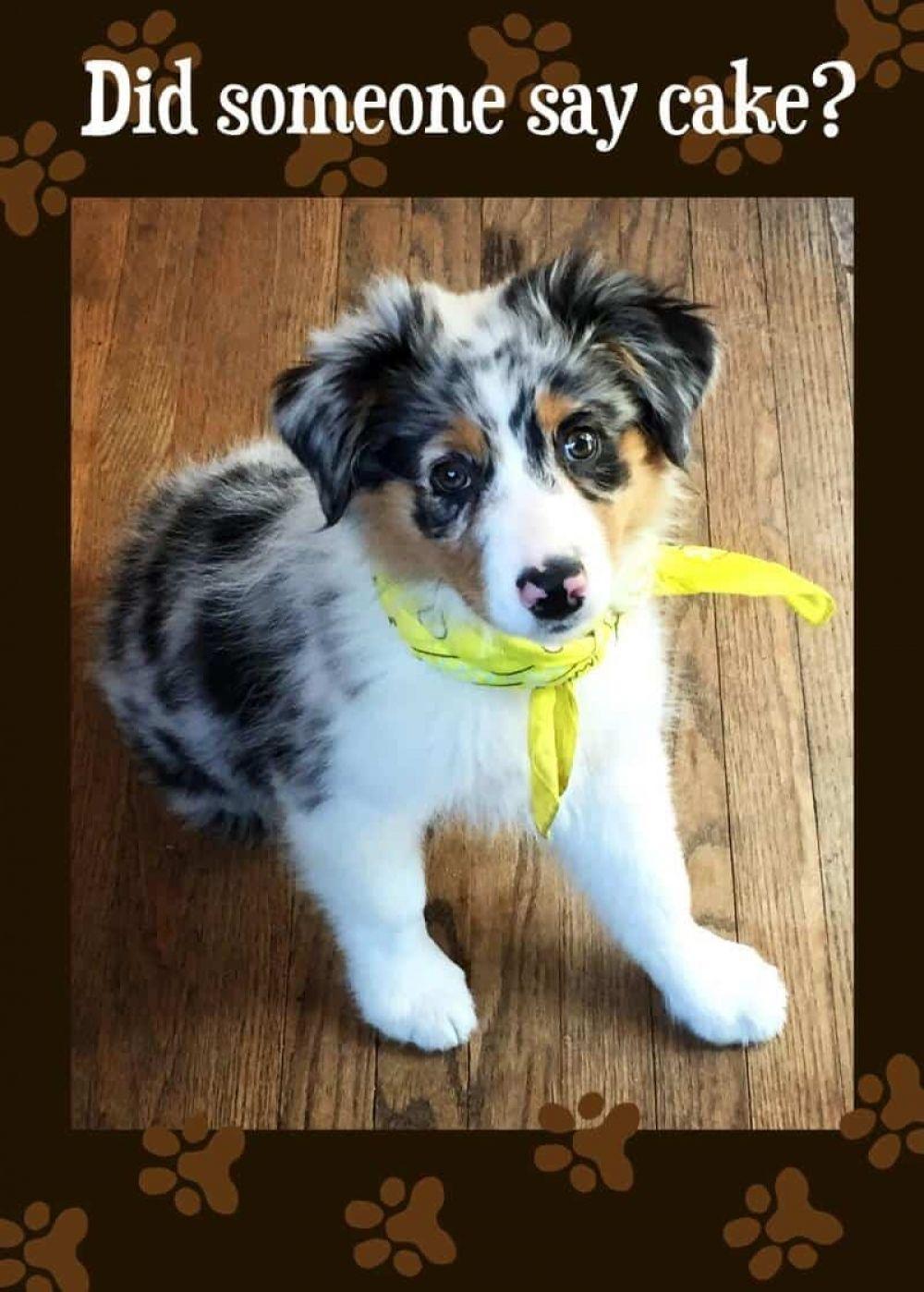 Account Suspended Shepherd puppies, Puppy bandana