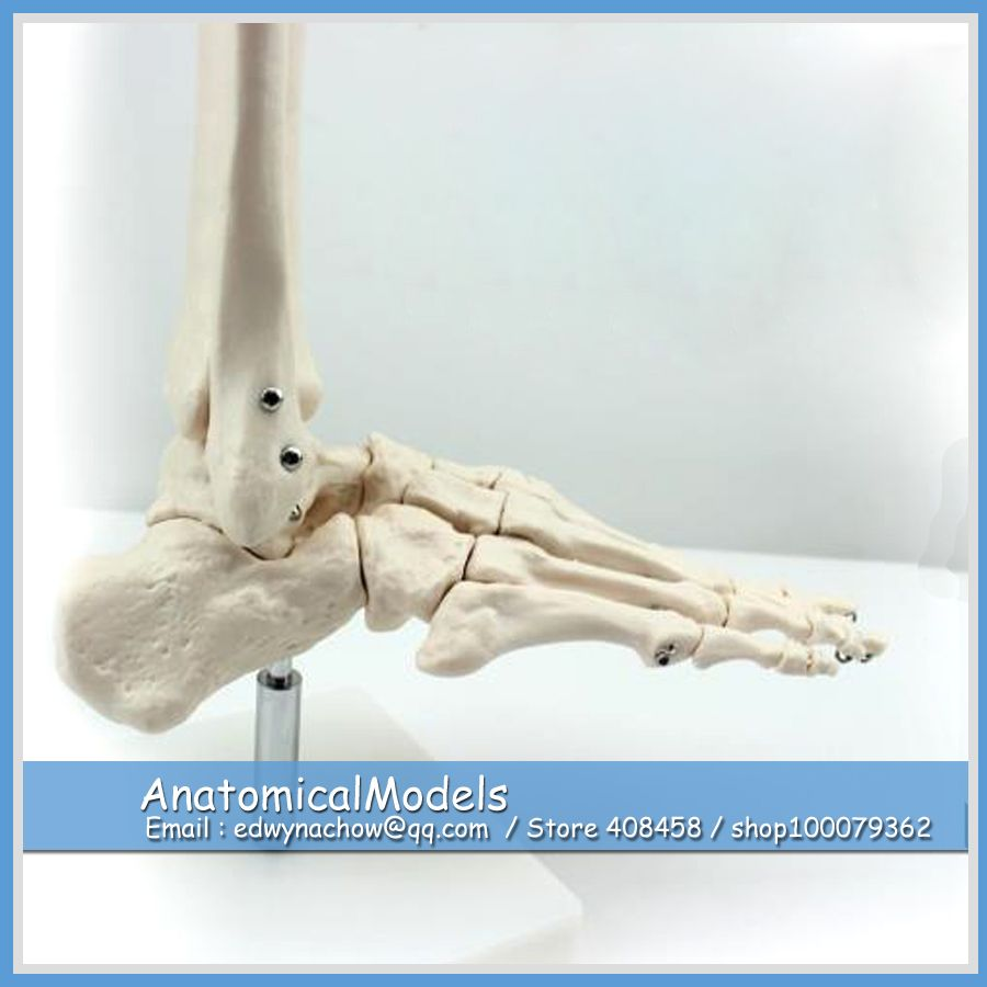 Ed Joint01 Life Size Human Foot Ankle Bone Skeleton Joint Model
