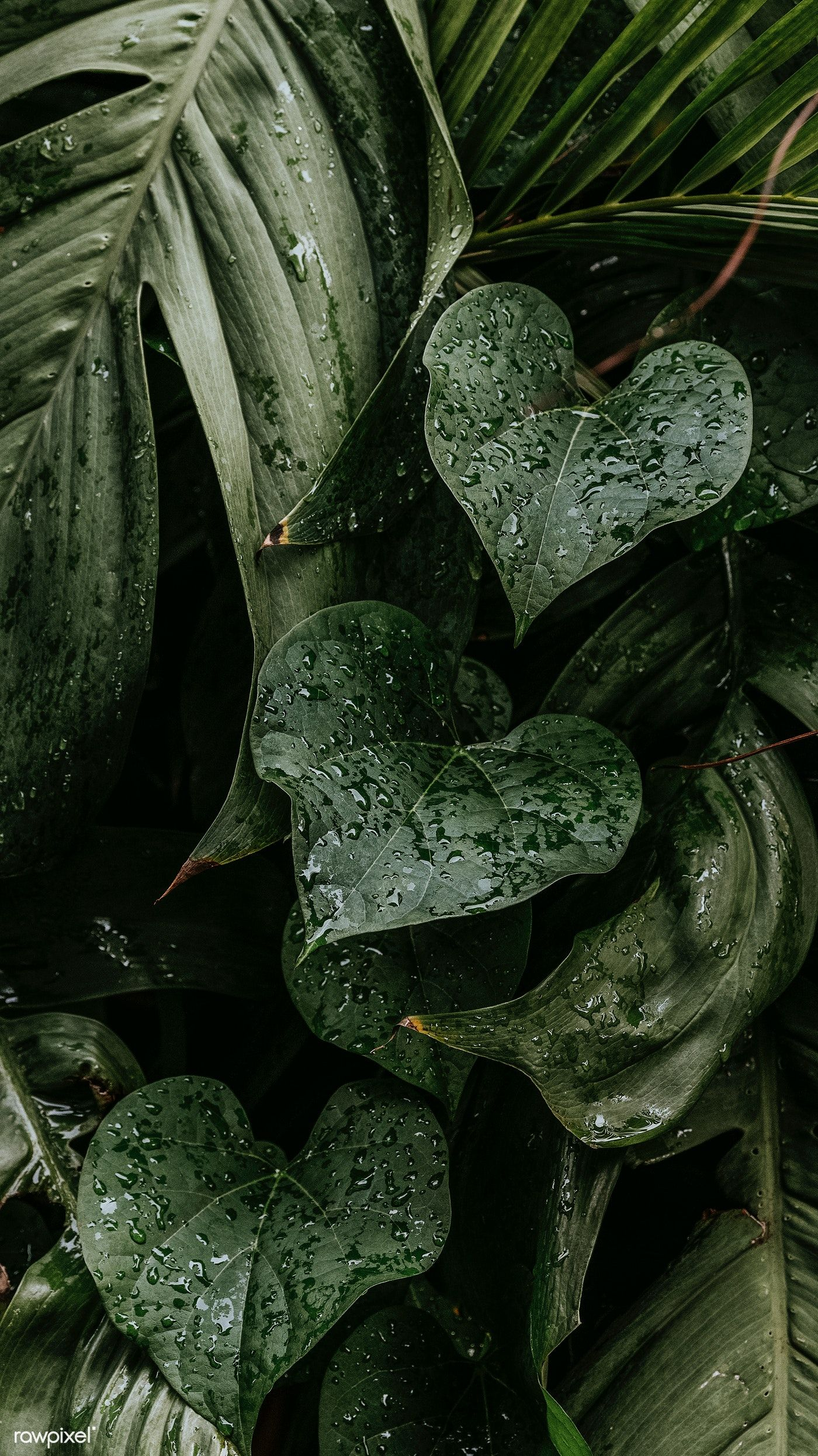 Download free image of Wet monstera plant leaves m