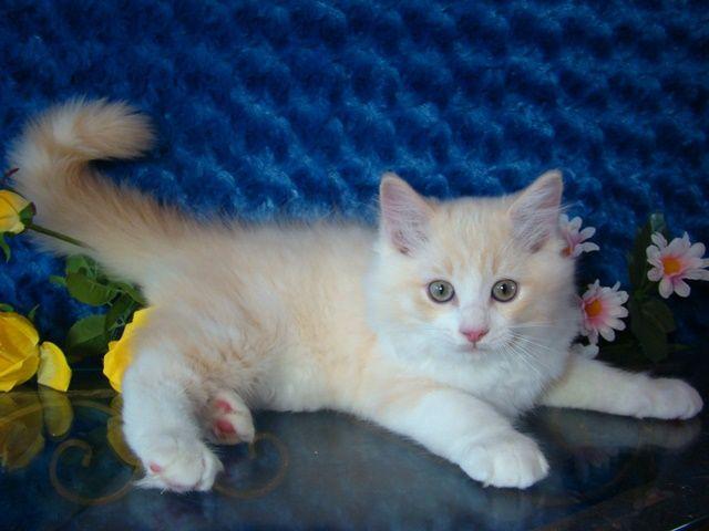 Ragdoll Kittens For Sale Buy Ragdoll Kittens Kittens Ragdoll