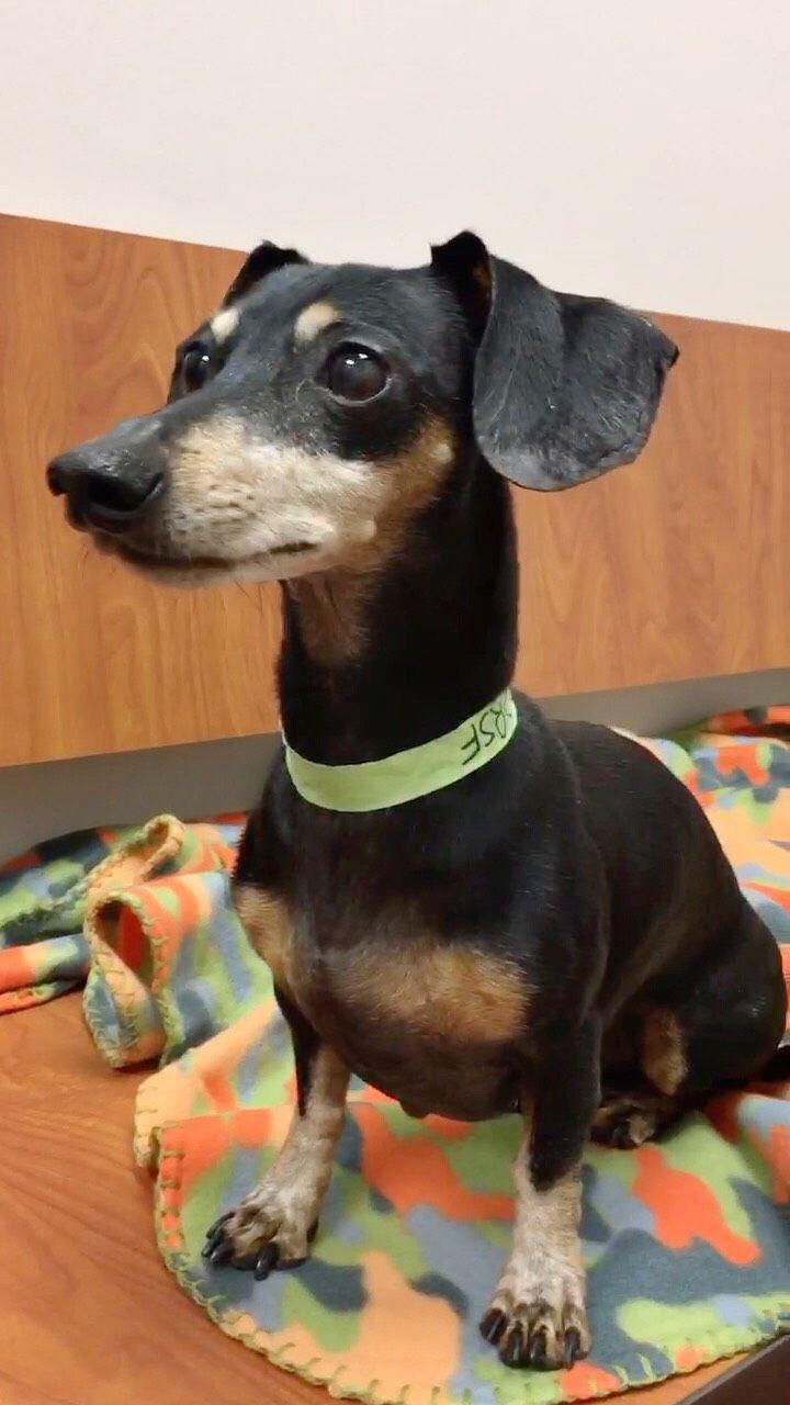 Dachshund dog for Adoption in Weston, FL. ADN-503750 on PuppyFinder.com Gender: Male. Age: Senior