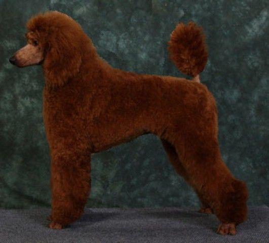 Standard Poodle Puppies Standard Poodles Red Standard Poodles