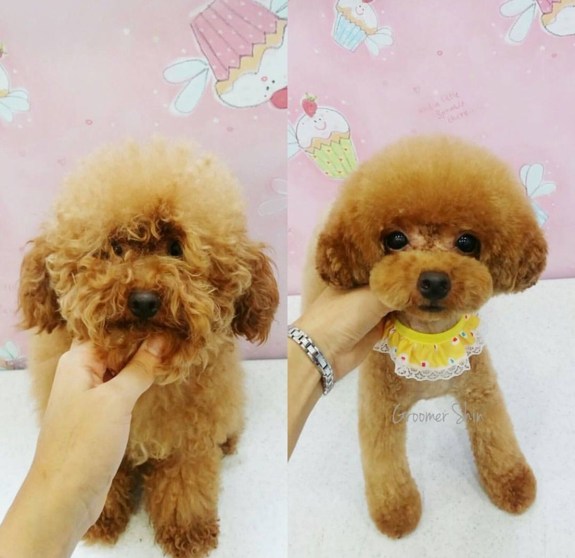 Before And After Asian Style Dog Haircuts Poodle Dog Grooming