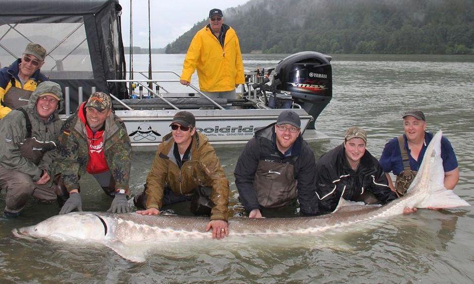Eight fishermen land 100yearold 'river monster' sturgeon