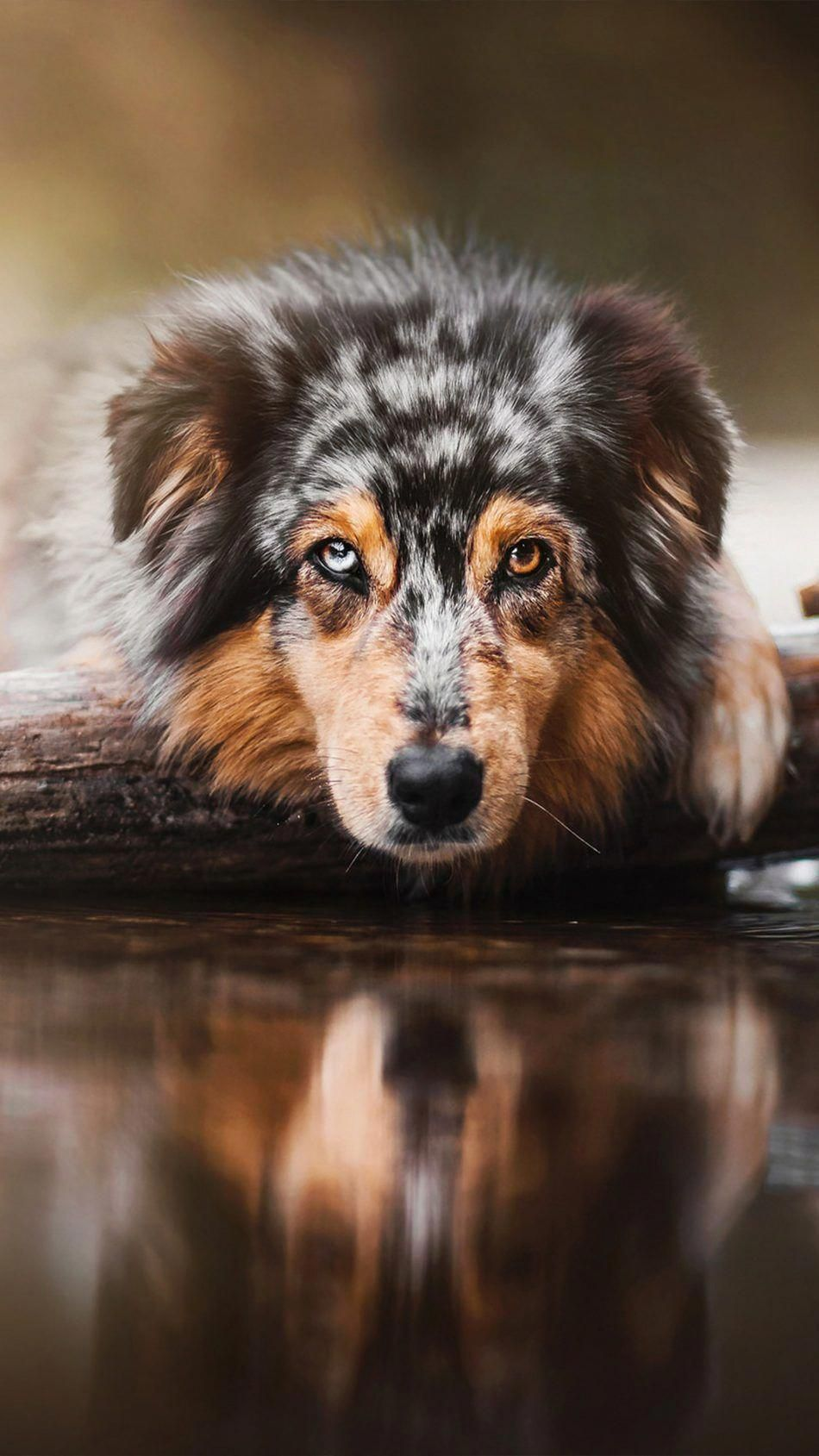 Australian Shepherd Smart Working Dog Australische