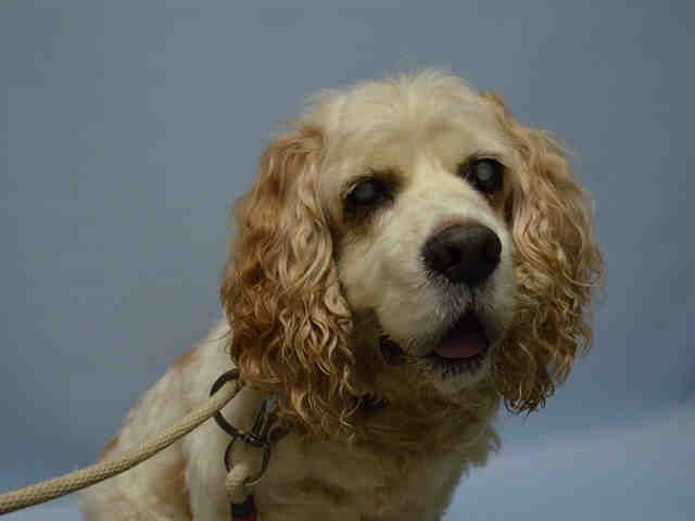 Safe 6 29 2015 By Abandoned Angels Cocker Spaniel Rescue Super Urgent Brooklyn Center Trixie A1041229 Cocker Spaniel Elderly Dogs Cocker Spaniel Rescue