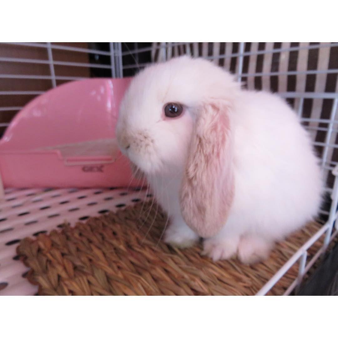 たれ蔵 On Instagram 耳が大きい ウサギ ミニロップ うさぎ