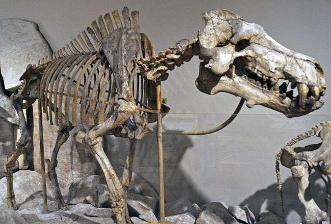 Facts About Hell Pigs, Giant Prehistoric Creatures That Weighed 2000 Lbs #prehistoriccreatures