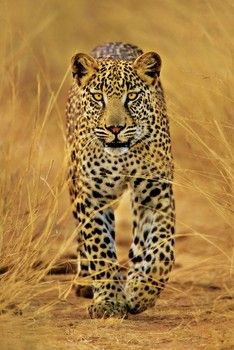 Leopard pósters   láminas   fotos