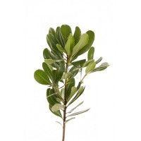Питтоспорум зеленый (Green Pittosporum)