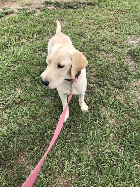 Labrador puppy Dogs & Puppies Gumtree Australia Camden