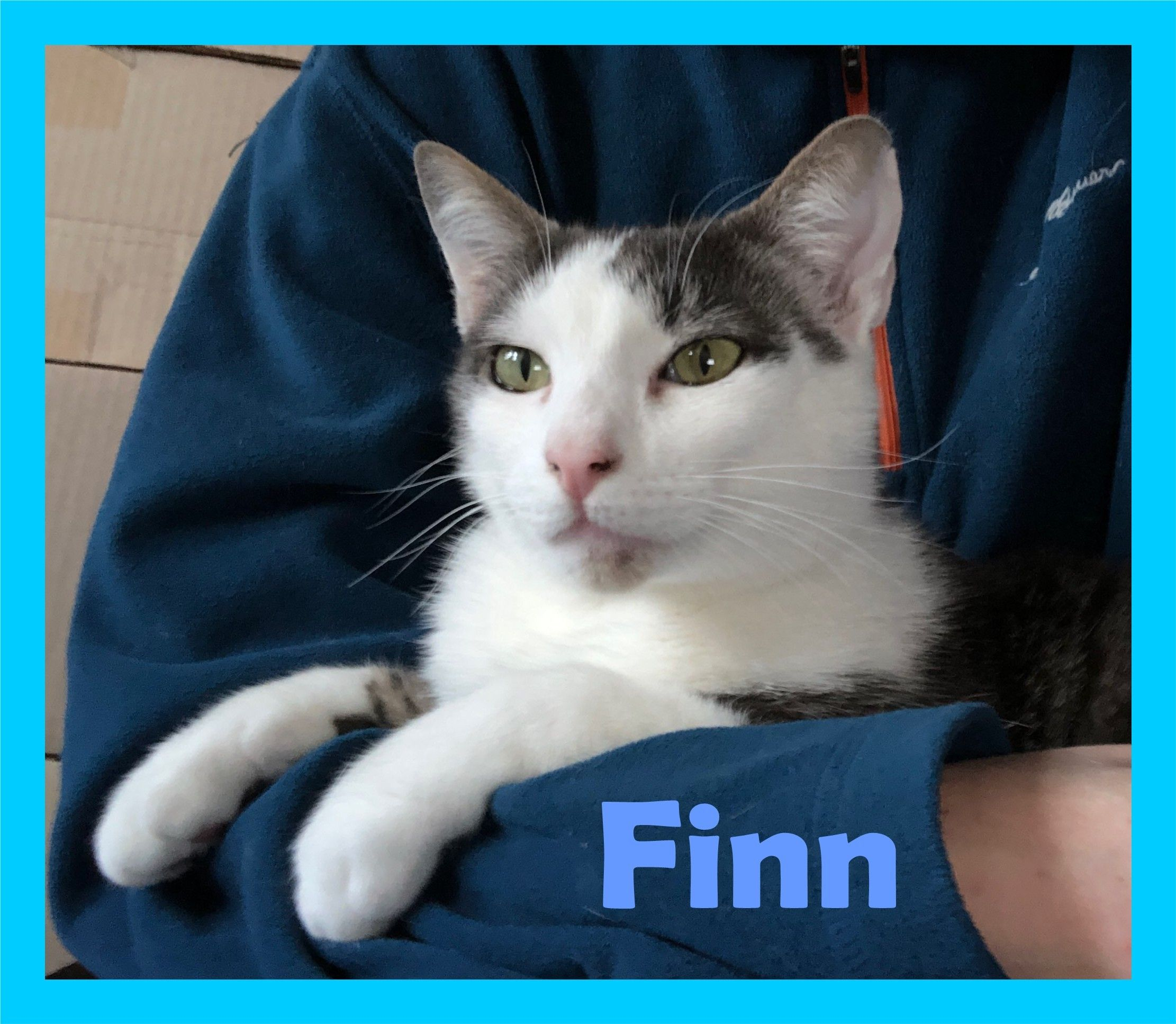 Adopt Finn On Petfinder In 2020 Cat Adoption Animal Shelter Cats And Kittens