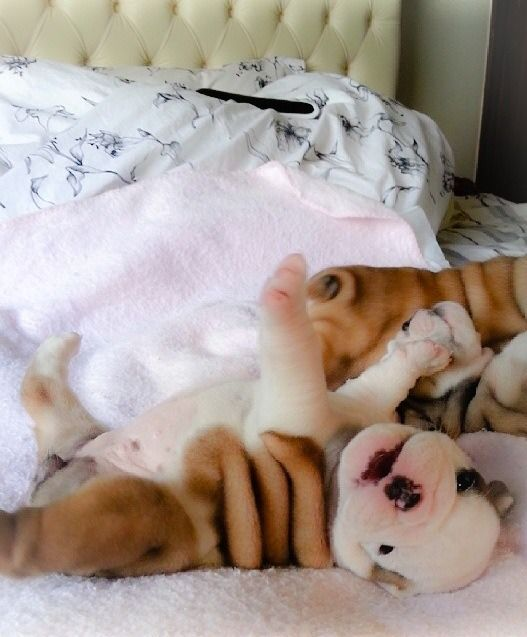 Baby On His Back I Swear English Bulldog Puppies Are The Cutest