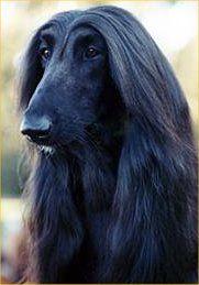 Black Afghan Hound Stunning Afghan Hound Hound Dog Stylish Dogs
