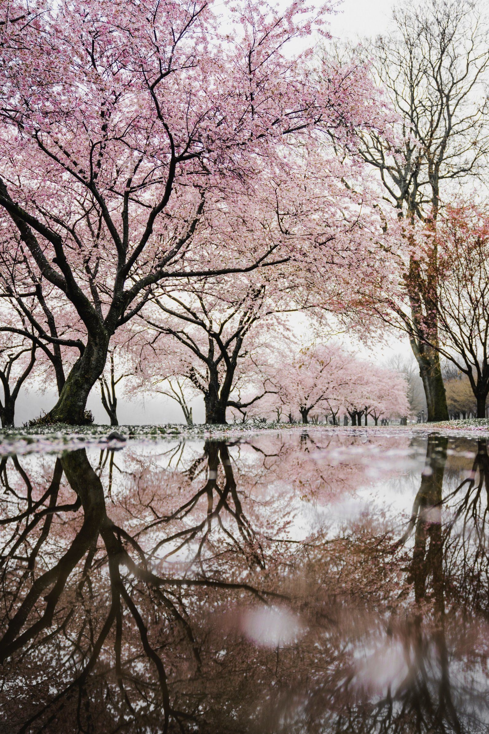 Cherry Blossom Poster landscape photography pink trees ...