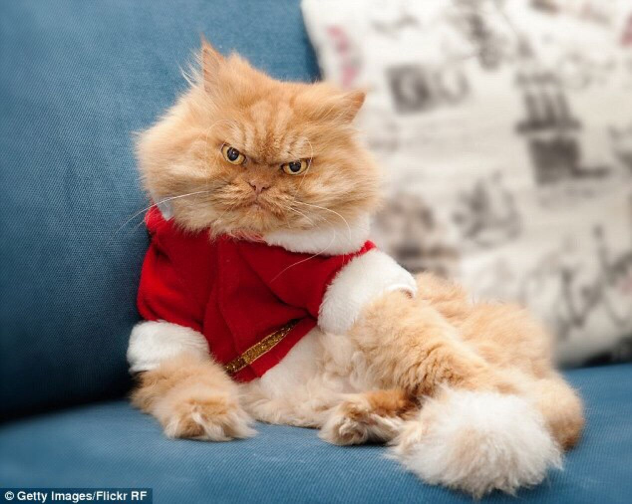 Garfi Aka Angry Cat Memes Cat Memes Grumpy Cat Garfi - Meet the ridiculously fluffy kitty thats more cloud than cat