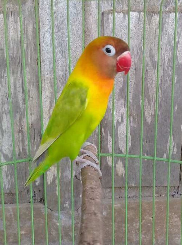 Gambar Lovebird Warna Palamas Love Birds African Lovebirds Beautiful Birds