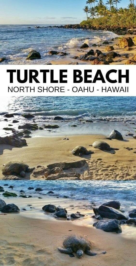 Where to see turtles in Oahu + Best time to see turtles :: waikiki. turtle beach - laniakea beach. oahu hawaii.