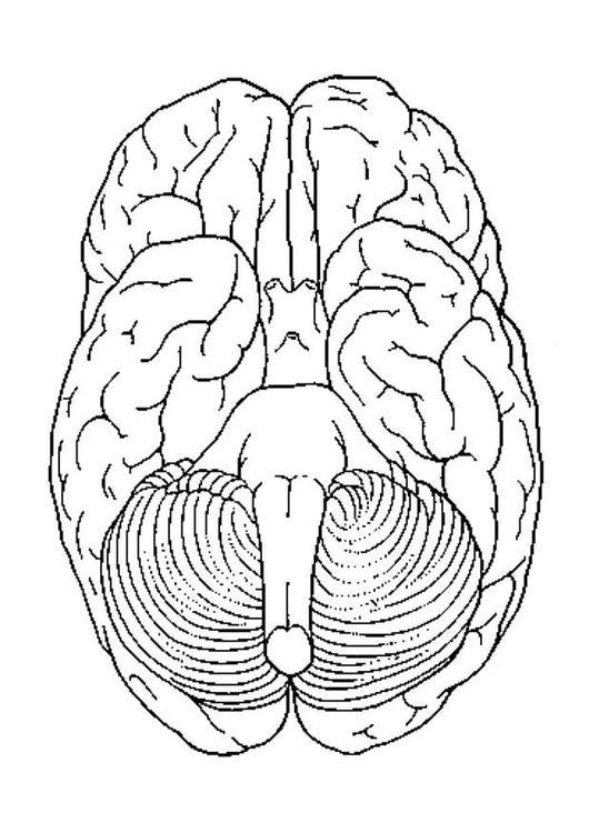 Dibujo para colorear Cerebro visto desde abajo | folder salida ...