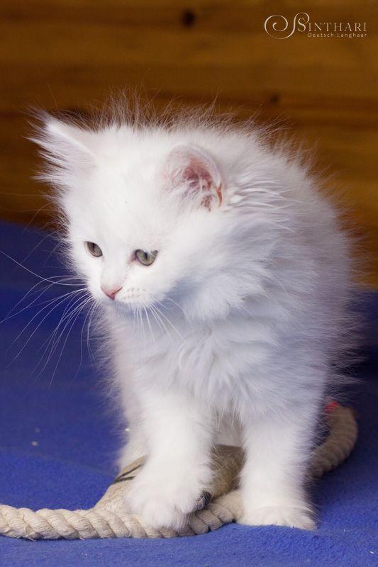 1a1ed1c68ad863 White German Longhair kitten Cat Cafe