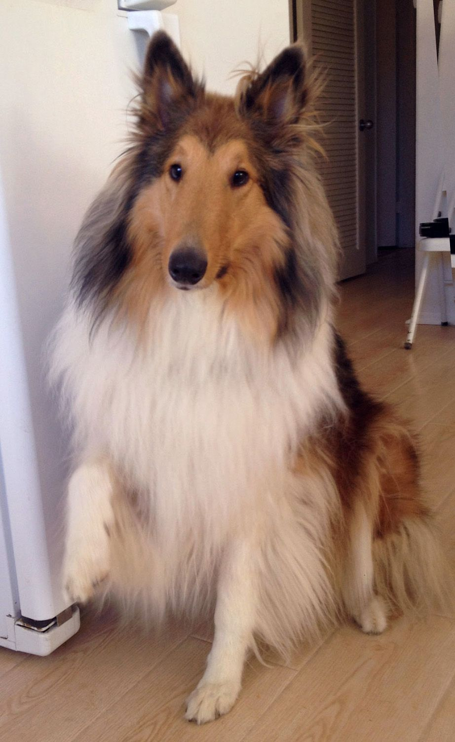 When My Collie Says Please I Can T Say No Sheltie Dogs Rough