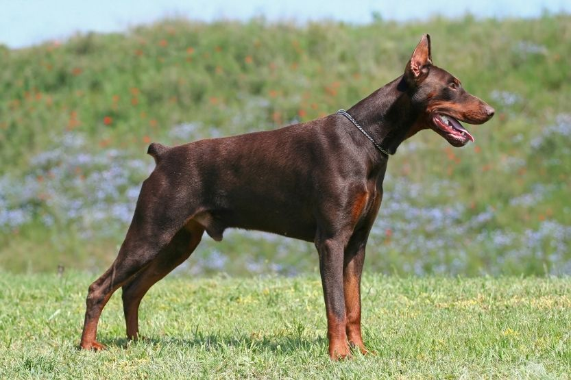 The Doberman Pinscher Is A Protective Breed Aggressive With Other