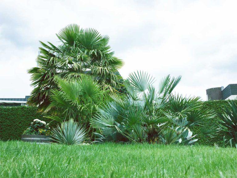 Ausgepflanzte Und Winterharte Palmen In Nrw Winterharte Palmen Palmen Garten