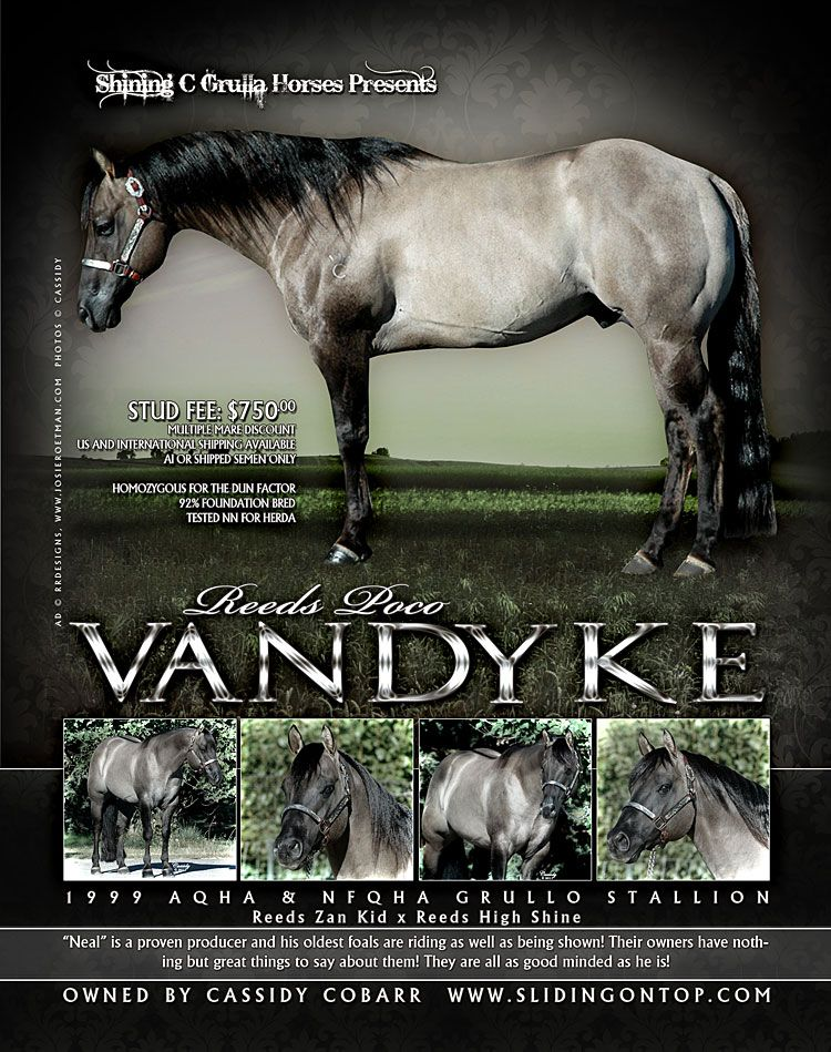 """American Quarter Horse stallion Reeds Poco Van Dyke (""""Neal"""") is one of those special horses that is homozygous for dun factor, meaning that he passes dun factor markings (primitive striping, darker points, dorsal stripe, etc.) to all his foals. Gotta love those grullas!"""