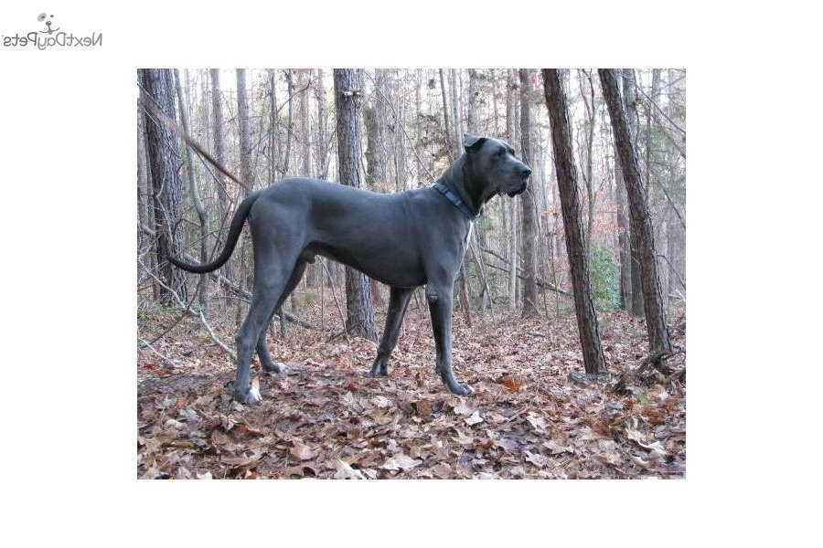 Blue Great Dane Puppies For Sale In Sc Dane Puppies Great Dane