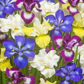 Van Zyverden 5 Count Iris Siberica Bulbs Lowes Com Iris Perennials Planting Bulbs