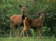 Sambar Deer In The Salt Lick