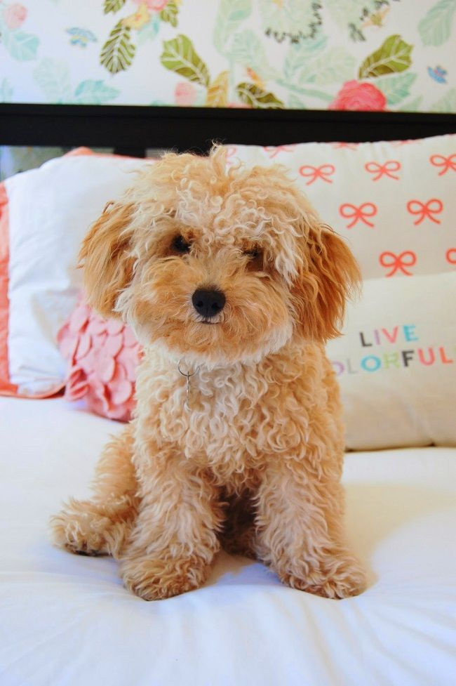 Tiny Dog Breeds That Stay Small List All Dog Breeds Tiny Dog Breeds Tiny Dogs Cute Dogs