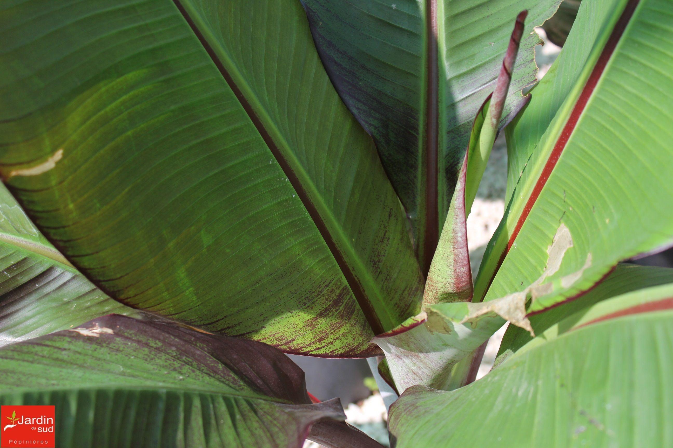 le bananier rouge d'abyssinie (ensete maurelii) est un superbe