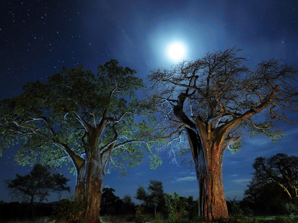 Baobab trees frame a serene view of night skies in Tarangire National Park, Tanzania. Some species of baobab trees can live for a thousand years—potentially reaching a stunning height of 80 feet (25 meters) and a diameter of 40 feet (12 meters).