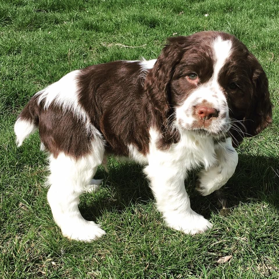 Pin By Susiemac On The Best Dog Breed Ever My Babies Spaniel