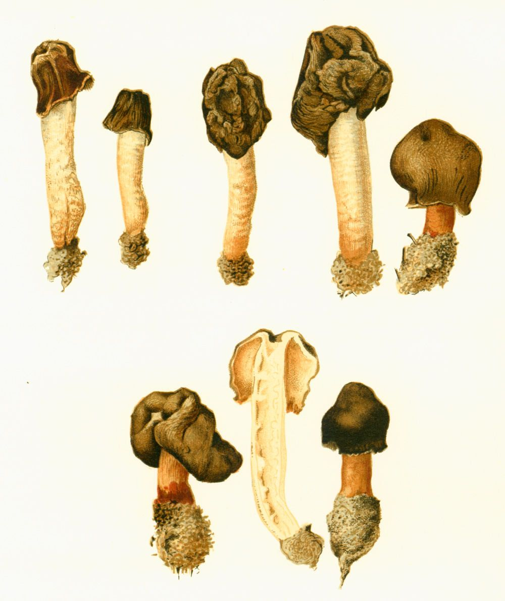 1950 SET OF 2 Morell Gyromitra Prints Fungi Mushrooms For Framing ...