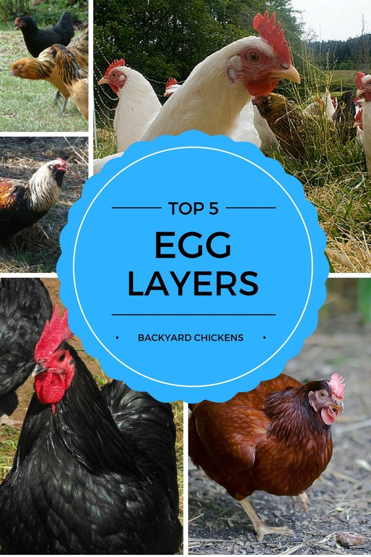 TOP 5 EGG LAYING Chicken Breeds For Your BACKYARD CHICKEN FLOCK More